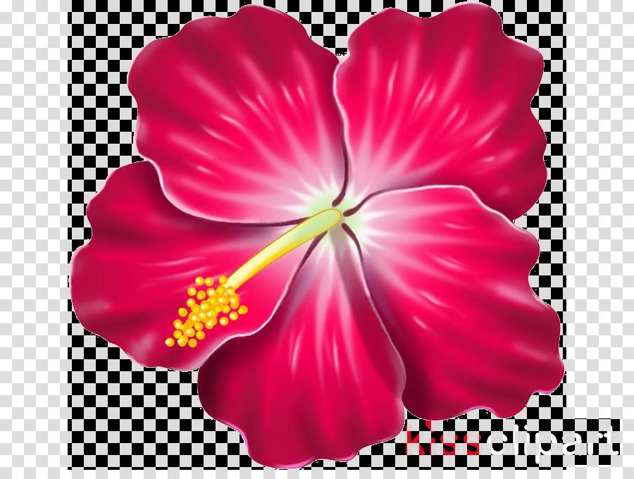 hibiscus petal flower hawaiian hibiscus chinese hibiscus.