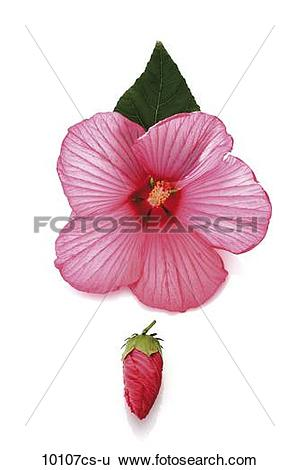 Stock Images of Rose mallow (Hibiscus moscheutos) 10107cs.