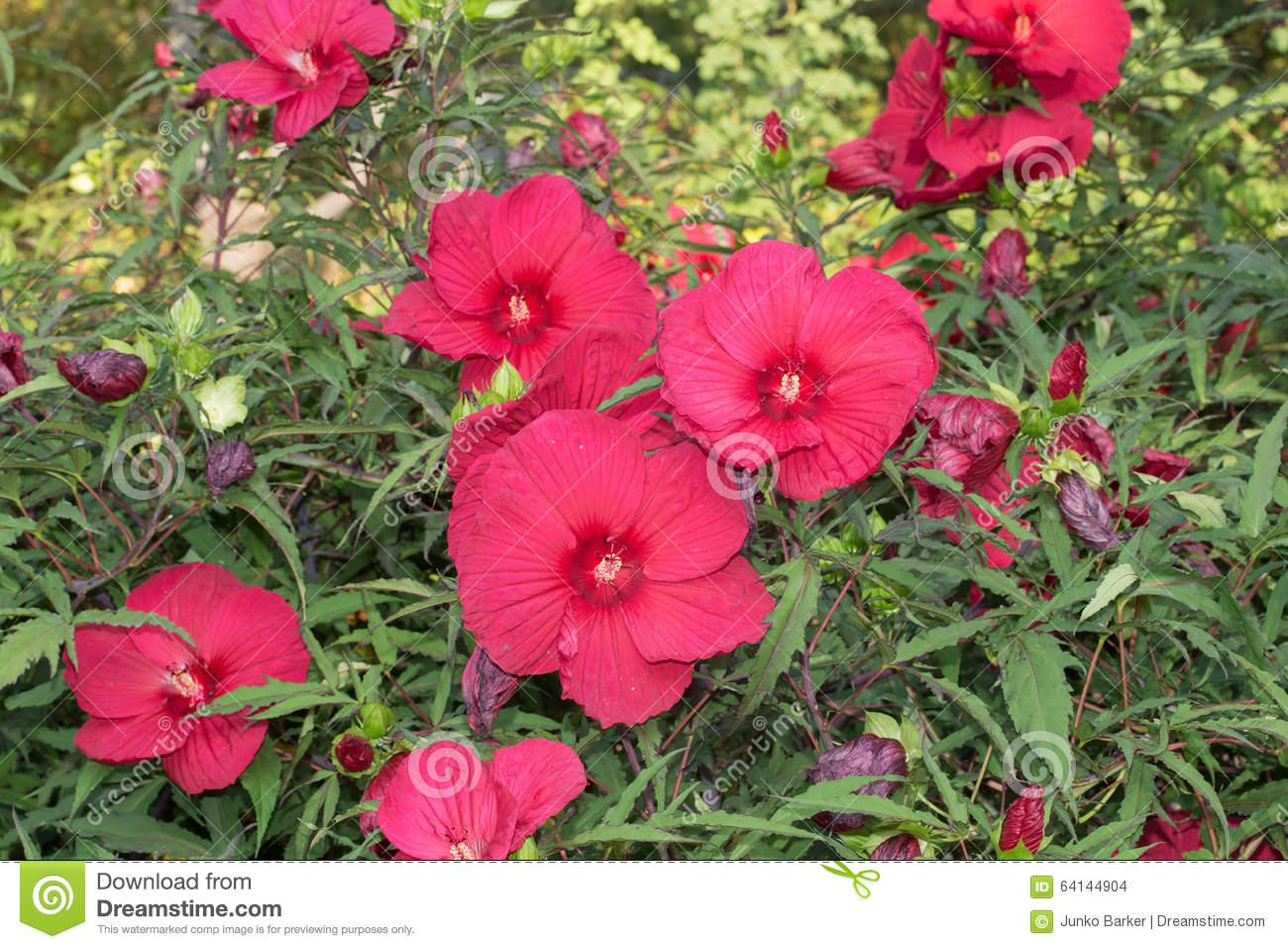 Disco Belle Rosy Red Hibiscus (Hibiscus Moscheutos) Stock Photo.
