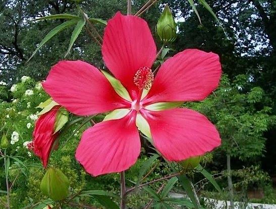 Hibiscus & MalvaceaeHibiscus malvaceae.