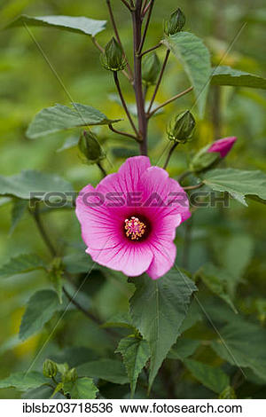 "Stock Images of ""Crimsoneyed Rosemallow (Hibiscus moscheutos."