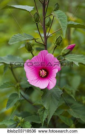 "Stock Images of ""Crimsoneyed Rosemallow (Hibiscus moscheutos."
