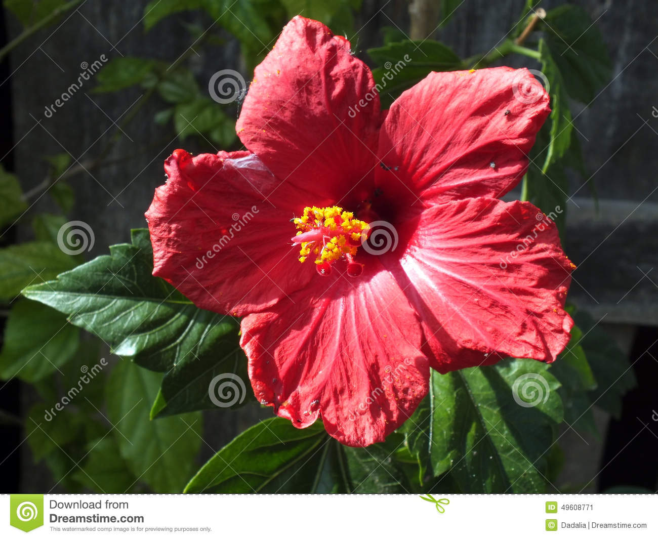 Giant Hibiscus (Hibiscus Moscheutos) Stock Photo.