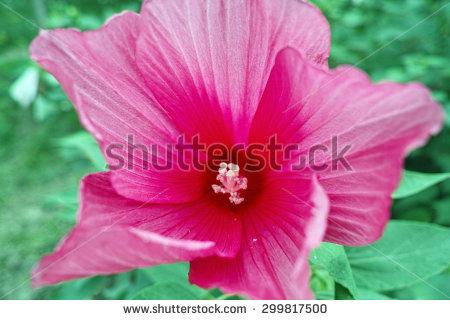 Hibiscus moscheutos Stock Photos, Images, & Pictures.