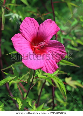 Hibiscus moscheutos Stock Photos, Images, & Pictures.