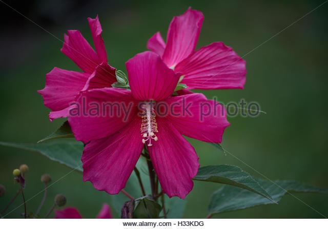 Rose Mallow Stock Photos & Rose Mallow Stock Images.