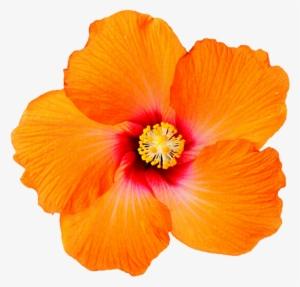 Hibiscus PNG, Transparent Hibiscus PNG Image Free Download.