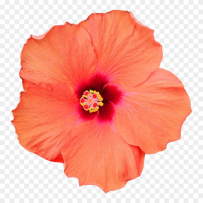 Fleur Hibiscus Png.