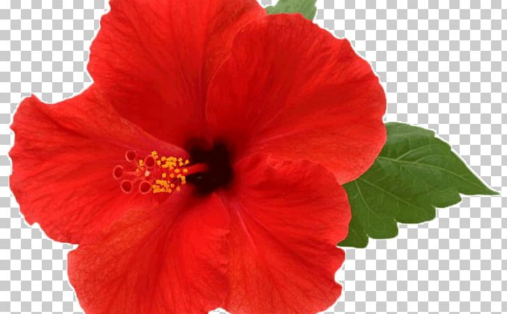 Shoeblackplant Flower Mallows Common Hibiscus PNG, Clipart, Annual.