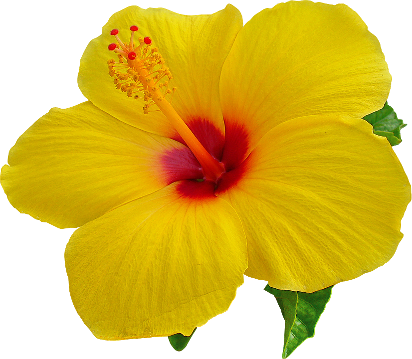 Hibiscus PNG Images Transparent Free Download.