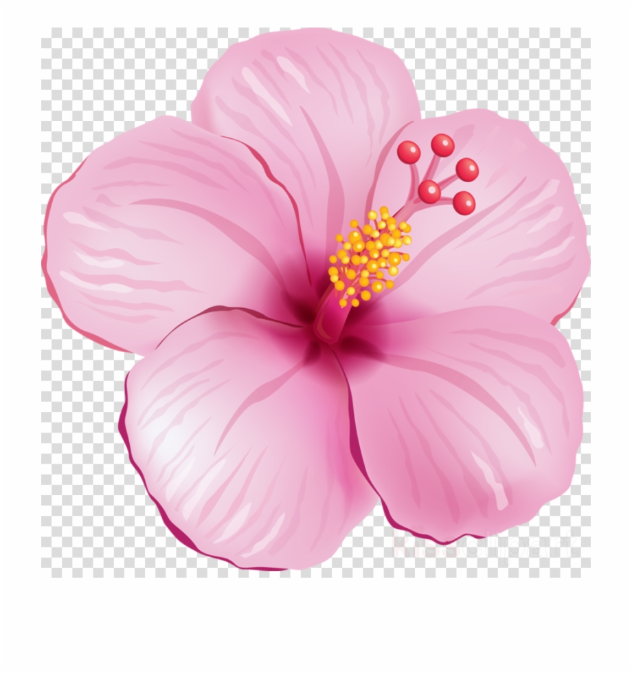 Hibiscus Png Image Clipart Transparent Background.