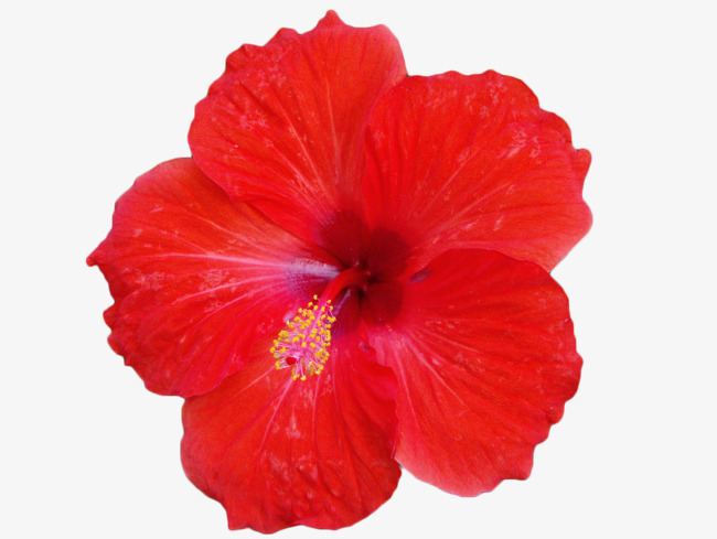Png Hibiscus Flower & Free Hibiscus Flower.png Transparent Images.