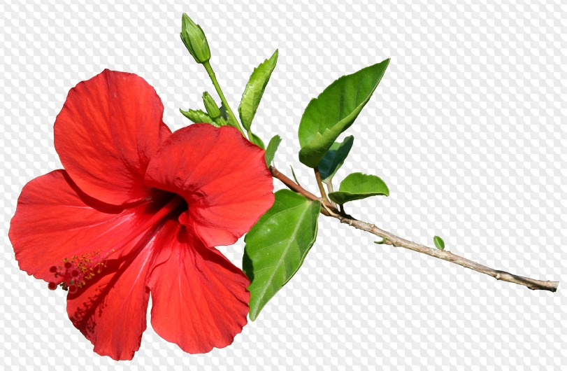 125 PNG, Hibiscus on transparent background.