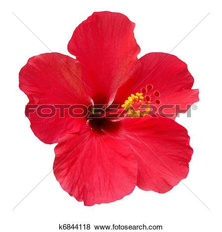 Pictures of Hibiscus rosa sinensis k6844118.