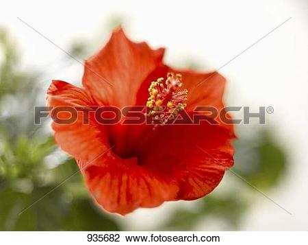 Stock Photo of A red hibiscus flower (Hibiscus rosa.