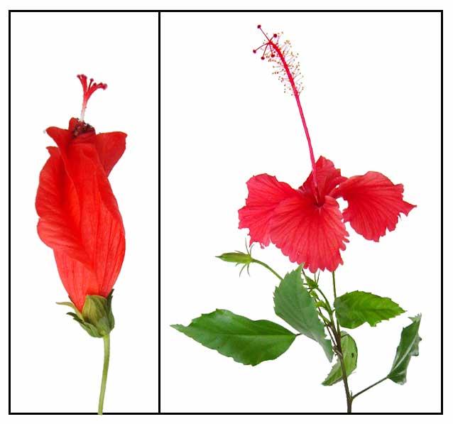 China rose clipart.