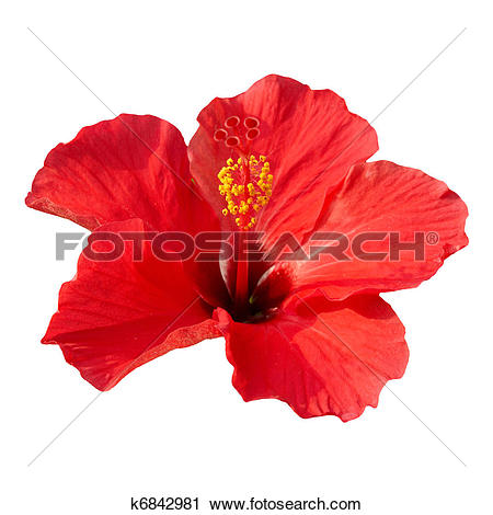 Stock Photography of Hibiscus rosa sinensis k6842981.