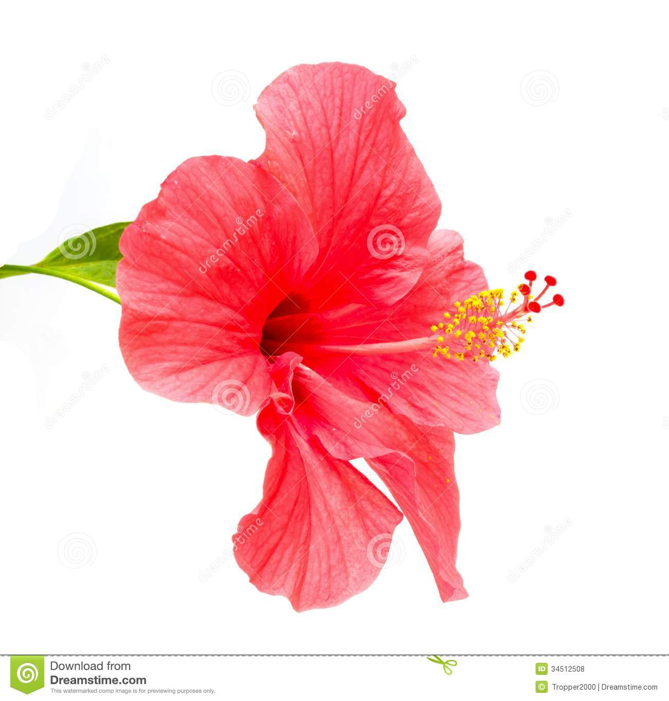 Hibiscus Rosa Sinensis Flower Royalty Free Stock Photos.
