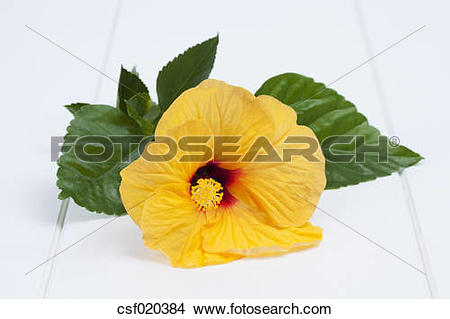 Stock Photo of Blossom of Chinese hibiscus (Hibiscus rosa.