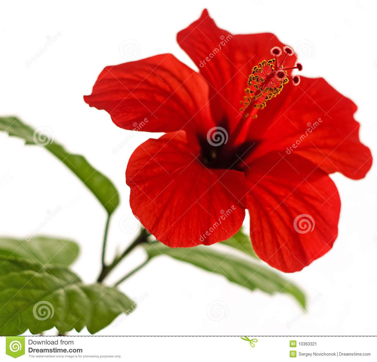 Hibiscus Rosa.