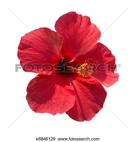 Stock Photograph of Hibiscus rosa sinensis k6846129.