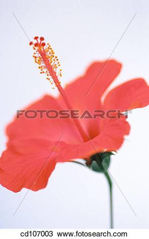 Stock Photo of Hibiscus (Hibiscus rosa.