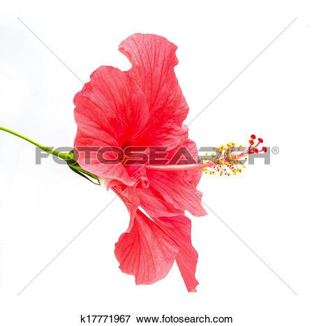 Stock Illustration of Hibiscus rosa sinensis flower k17771967.