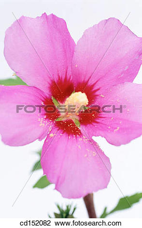 Stock Photo of Rose of Sharon, Hibiscus syriacus cd152082.
