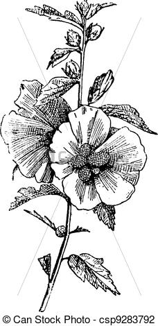 Vector Illustration of Hibiscus (hisbiscus syriacus), vintage.