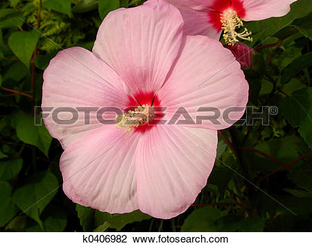 Stock Photo of Giant pink hibiscus syriacus flower k0406982.