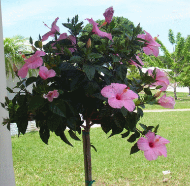 Buy Hibiscus Trees, Learn Caring For Hibiscus, Huge Variety of Colors.