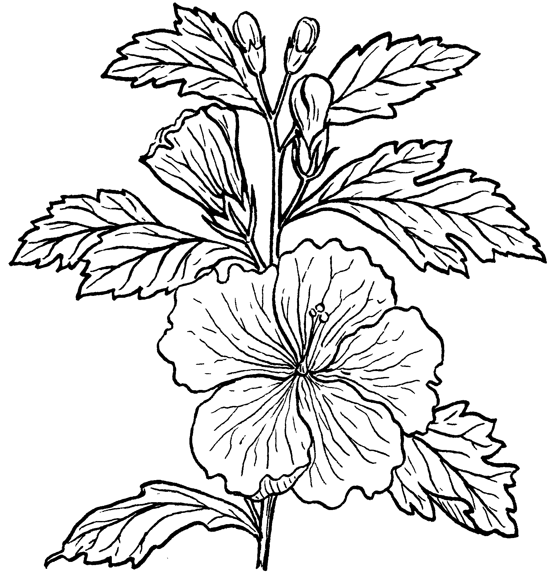 Hibiscus Drawing.