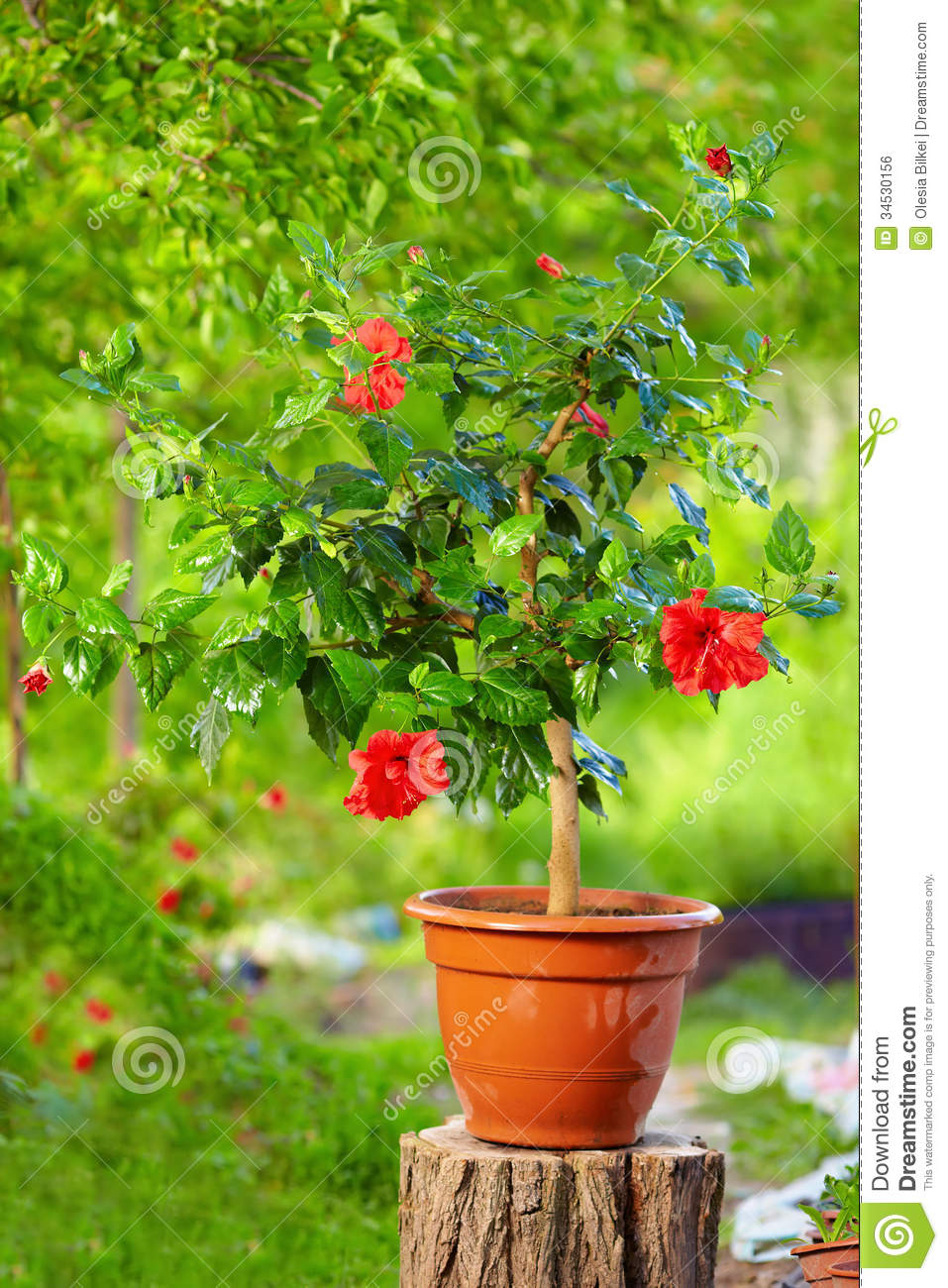 Potted Hibiscus Plant, In Garden Royalty Free Stock Image.