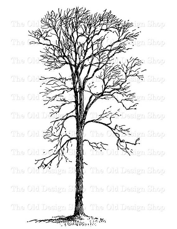 Hickory Tree Vintage Clip Art Illustration Digital Stamp.