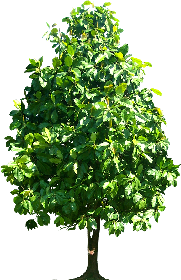 Download Tree Png Dillenia Pteropoda Image.