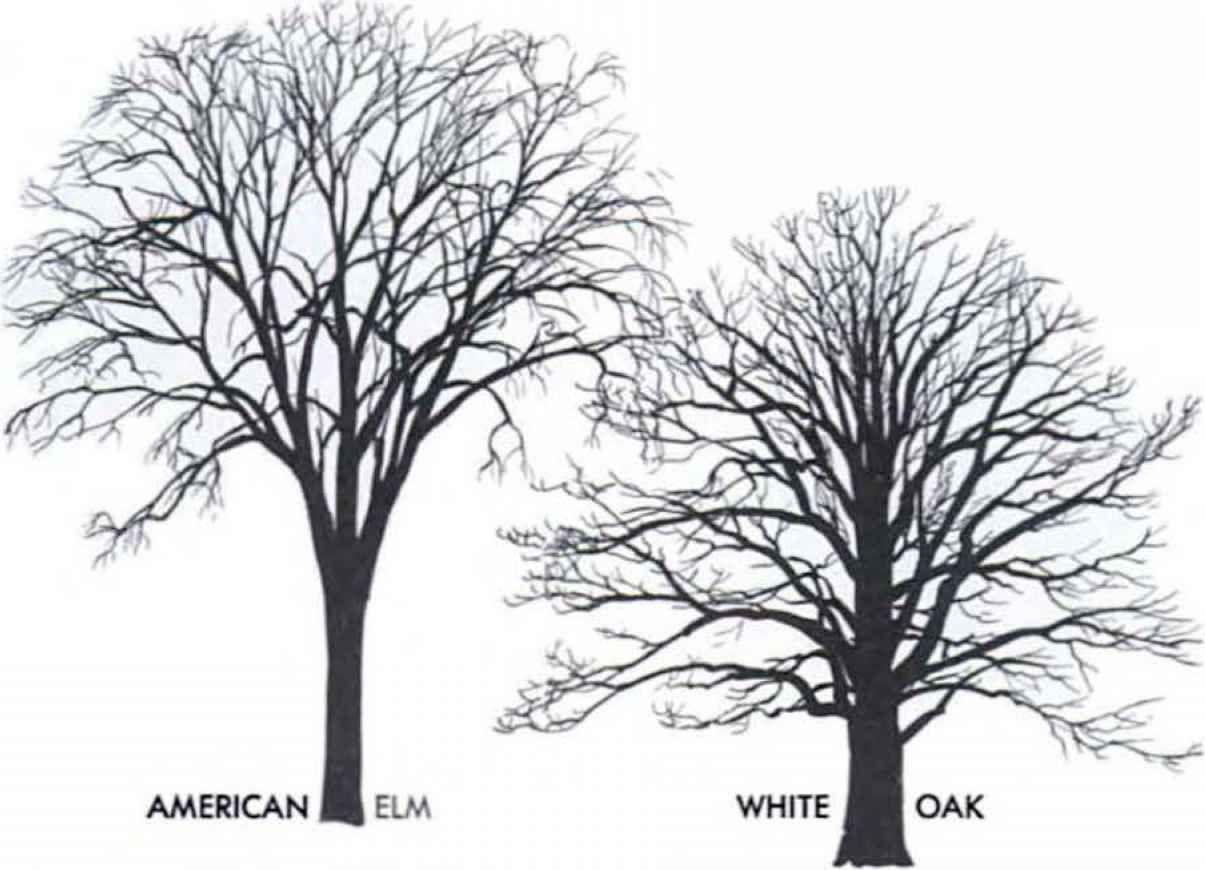 Hickory Tree.