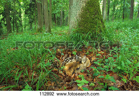 Stock Photo of roe deer fawn.
