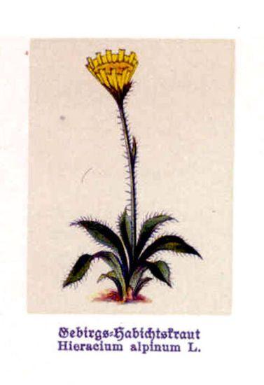 Hieracium alpinum [Sparviere alpino].