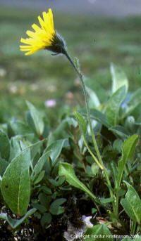 Ranunculus hispidus Swamp Buttercup.