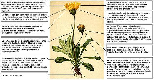 Hieracium alpinum.
