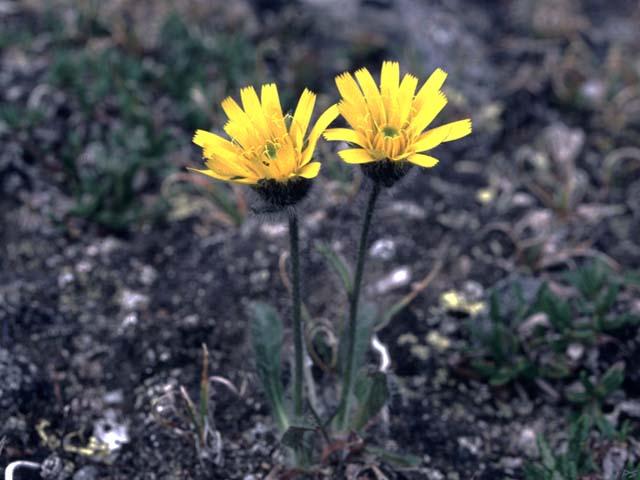 Image: Hieracium alpinum.