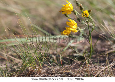 Hieracium Stock Photos, Royalty.