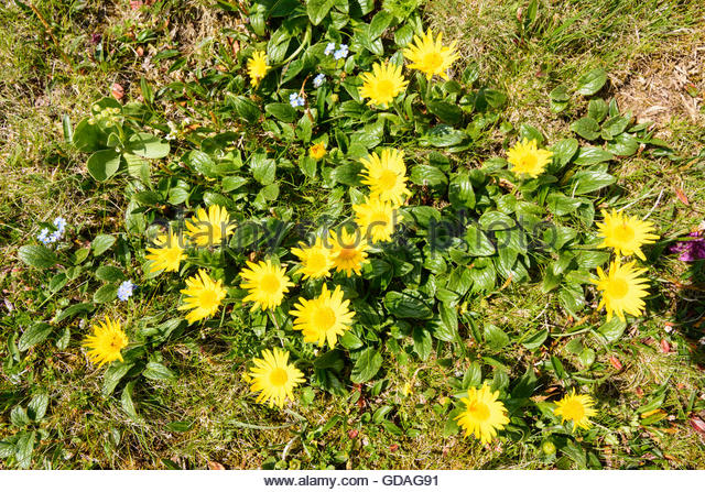 Alpine Hawkweed Stock Photos & Alpine Hawkweed Stock Images.