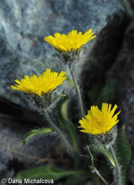 fotografický klíč k určování cévnatých rostlin :: BOTANICAL.