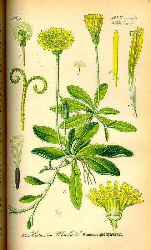 1000+ ideas about Hieracium Pilosella on Pinterest.