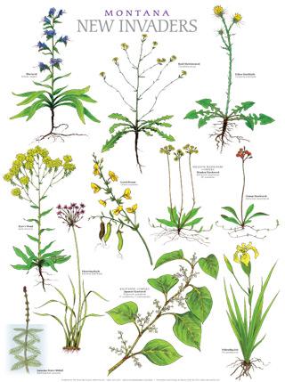 Montana Exotic Plants : Nancy Seiler.