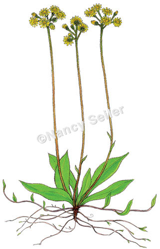 Meadow Hawkweed, Hieracium caespitosum : Nancy Seiler.