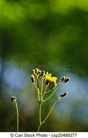 Picture of Hieracium silvaticum, yellow flower.