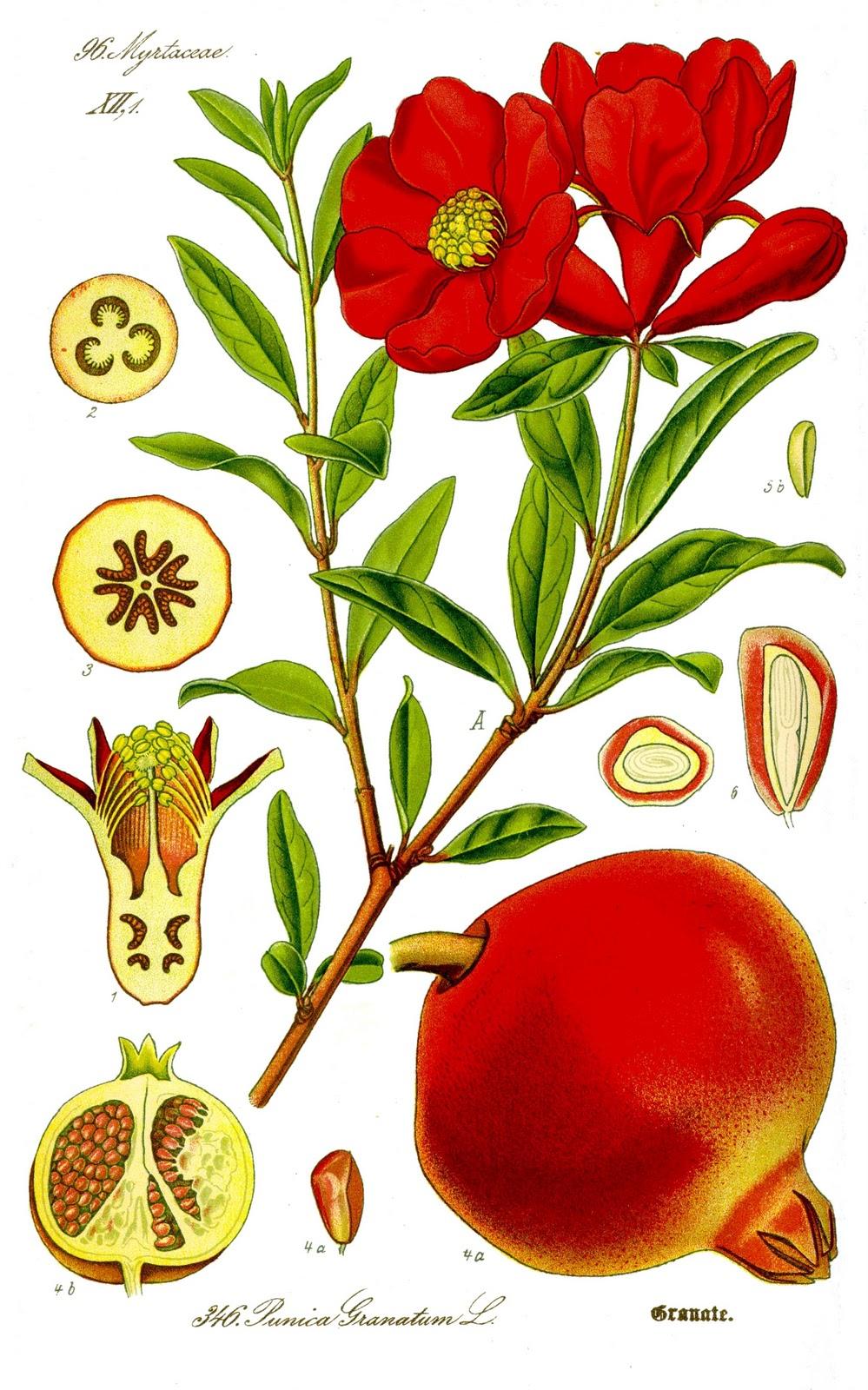 1000+ images about botanic ilustration on Pinterest.