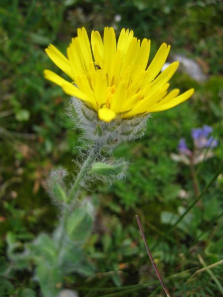 1000+ images about Alpine Flora and Fauna on Pinterest.